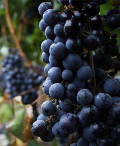 MICROBIO WINES - SIETEJUNTOS