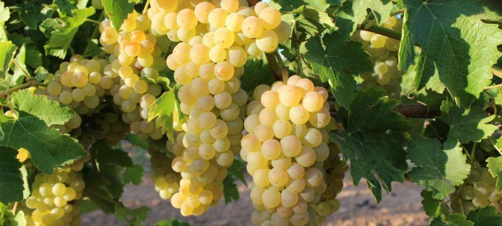 Resultado de imagen de albillo uva